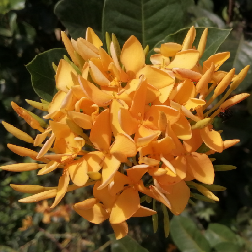 Ixora coccinea (Faja Lobi Orange)