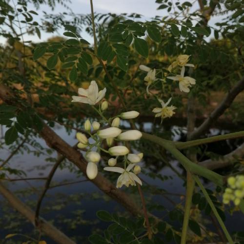 Moringa oleifera (Moringa tree)