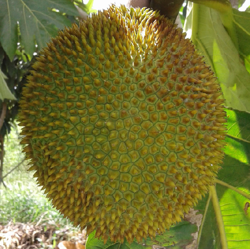 The Artocarpus Camansi (Breadnut)