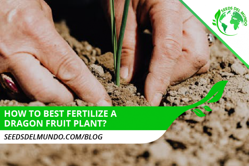 How to best fertilize a dragon fruit plant