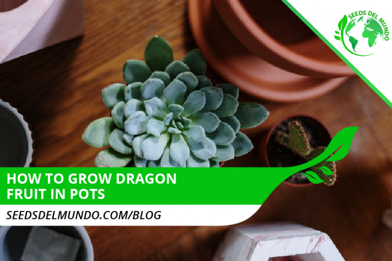 How to grow dragon fruit in pots