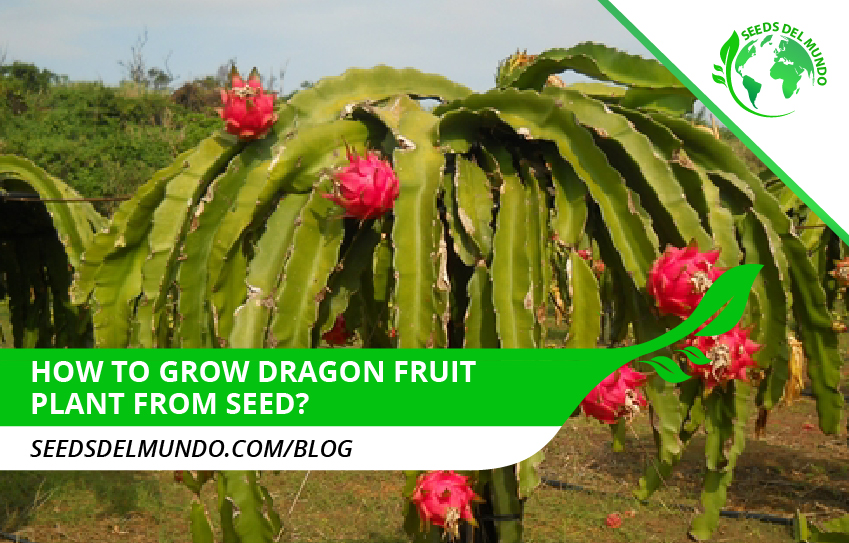 dragon-fruit-plant-from-seed