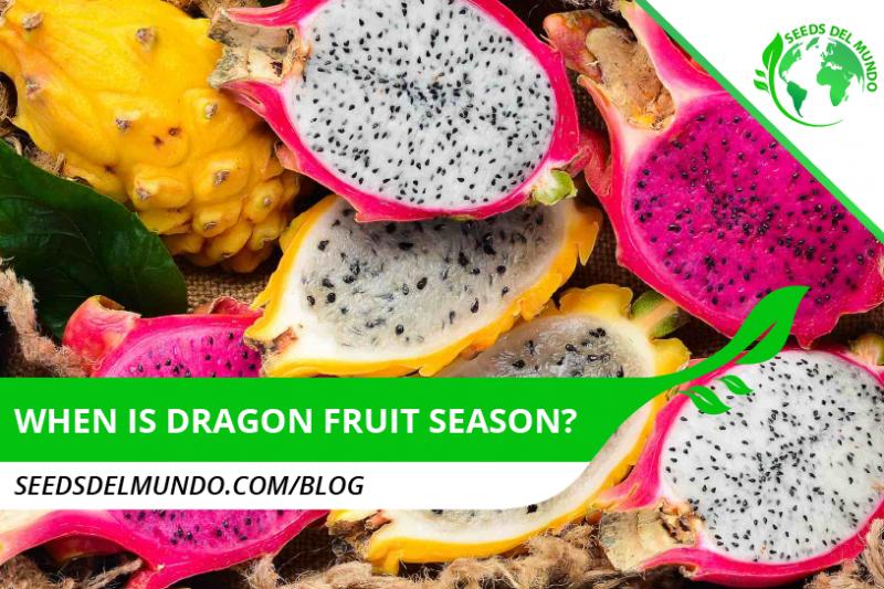 when is dragon fruit season