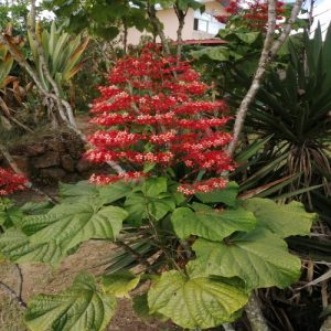 Clerodendrum paniculatum (Pagode flower)