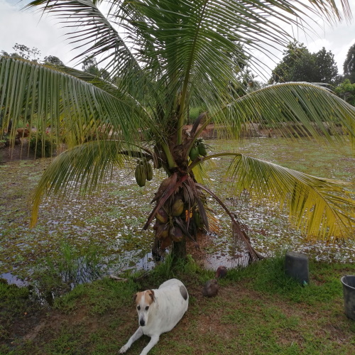 Cocos nucifera dwarfpalm (coconutpalm)
