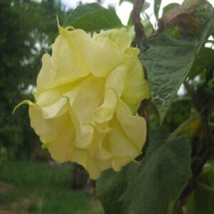 Datura Yellow Ballerina