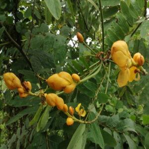 Senna alata ringworm shrub