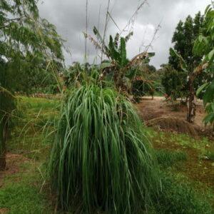 Cymbopogon nardus (Ceylon Citronella)