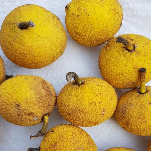 Garcinia acuminata (Bacuri)