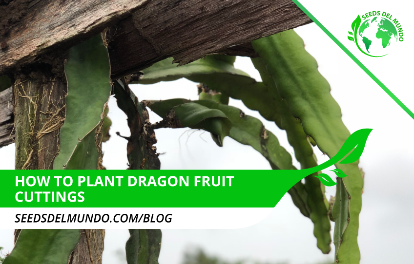 how-to-plant-dragon-fruit-cuttings