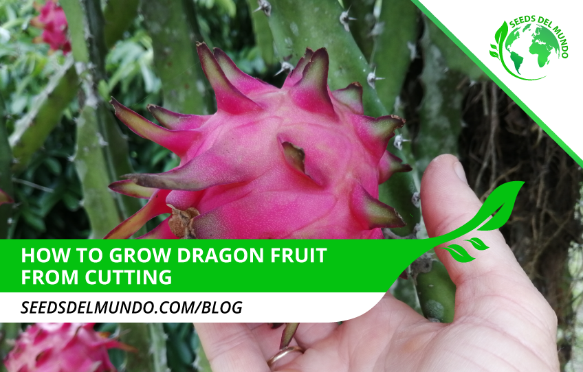 how-to-grow-dragon-fruit-from-cutting!